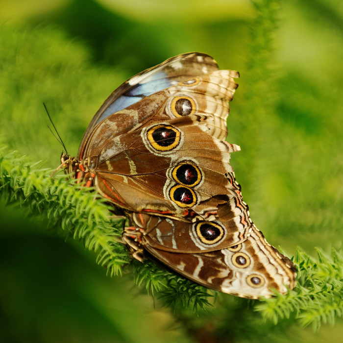 Schmetterling I